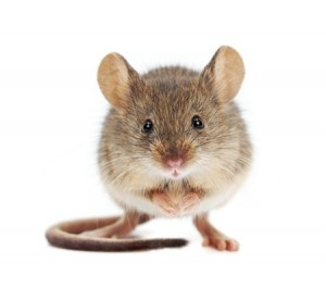 House mouse standing on rear feet