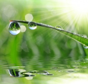 dew drops