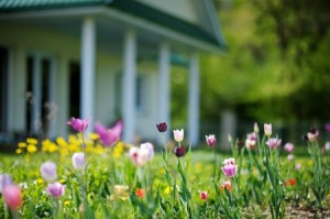 39672387 - beautiful colorful tulips in front of a big house
