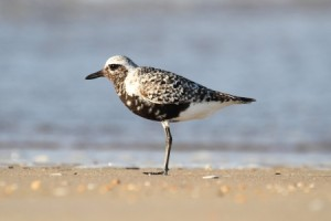 21995182 - black-bellied plover  pluvialis squatarola  by the atlantic ocean
