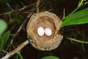 36245850 - hummingbird nest with two eggs, panama, central america