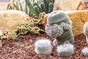 53499392 - cactus planted in a botanical garden.