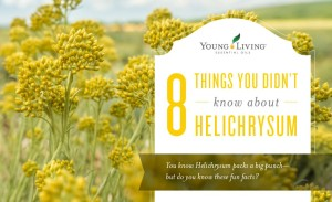 YL 8 things Helichrysum blog
