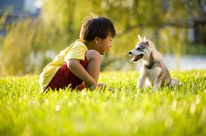 6865021 - young asian boy playing with alaskan klee kai puppy sitting on grass