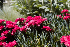 101786572 - dianthus caryophyllus (carnation) in a sunny xeriscape garden.