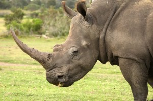 8402923 - huge white rhinoceros with grass in it's mouth