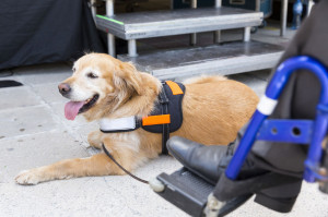Guide and assistance dog