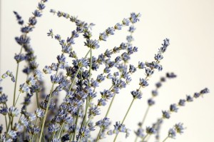 20956926 - fresh lavender from summer garden