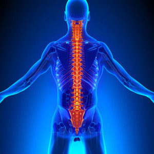 Spine Anatomy with Ciculatory System